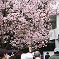 淡水 郭努努跟陳卡卡去看櫻花
