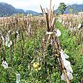 台東利稻部落遇到阿古師酵素有機茶園