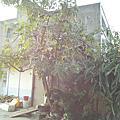 馬拉巴栗樹的種子~