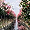 虎尾農博生態園區前的美人樹~(建成路)