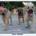台灣大型土狗(高山犬)~8月最新幼犬
