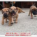 台灣大型土狗(高山犬)~2011.08.15~16高山幼犬寶寶~粗粗犬舍