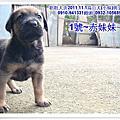 台灣大型土狗(高山犬)~2011.11.01高山幼犬寶寶~粗粗犬舍