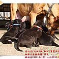 2014/01/25高山犬(大個)與(虹虹)寶寶~滿月喽!