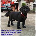 高山犬幼犬2014.03.14大個與黑妞寶寶42天