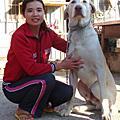 台灣大型土狗(高山犬)~~巨大白色種公(小白)