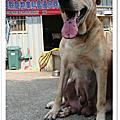 台灣大型土狗(高山犬)~2011.04.12高山幼犬寶寶~粗粗犬舍