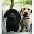 台灣大型土狗(高山犬)~粗粗犬舍~高山犬探訪之旅