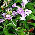 新版考題- 觀賞植物99種- 水生及蔓生植物
