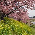 20100223_南伊豆南櫻+油菜花田