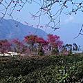 20130119 南投-草坪頭(賞櫻)