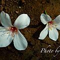 2007,4,22土城桐花節之其他照片