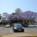 又是紫花(Jacaranda)盛開的季節