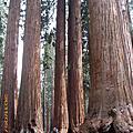 11-0514 Sequoia NP