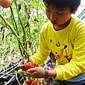 新竹縣關西鎮-金勇DIY番茄農場(20190406)