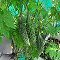 2013.5.7第一顆採收的日本苦瓜