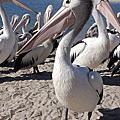 澳洲-波利特國家公園-大嘴鳥