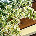 九芎.杜英開花