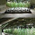 毒販是這樣種植大麻....
