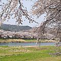 2013*日本東北*櫻花行
