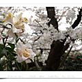 2008 03 光之丘公園櫻七分