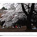 2008 04 新宿御苑 櫻七分
