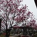 新社櫻花林201402