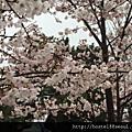 釜山鎮海櫻花季櫻花照片集