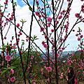 2013台北木柵杏花林攝影