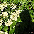玉葉金花、紅萼、粉萼、雪萼花