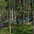 金針山繡球花道