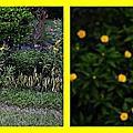 黃時鐘花開縮時攝影2