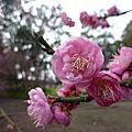 2013 cherry blossom