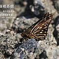 黃條褐弄蝶(臺灣脈弄蝶)~~