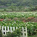 2007竹子湖海芋季