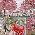 【旅人】泰安櫻花、舊鐵道、採草莓