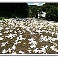 2010土城桐花