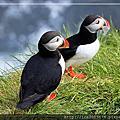 2016 Iceland~賞海鸚鵡Puffin