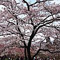 2014/03/18阿里山賞櫻