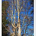 武陵的臘梅與樹
