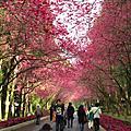 2010九族櫻花祭
