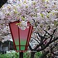[大阪] 排隊櫻花。造幣局