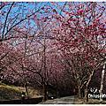 2013武陵櫻花