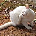 沖繩金城町石疊道與白貓家族