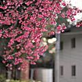 春天的sakura