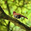 台灣特有鳥種