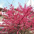 20150217 淡水天元宮櫻花季