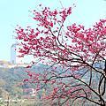 20150217 三芝櫻花季