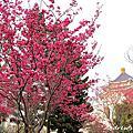 20160306 中正紀念堂 櫻花樹