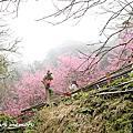 20170319 楓樹湖櫻花
